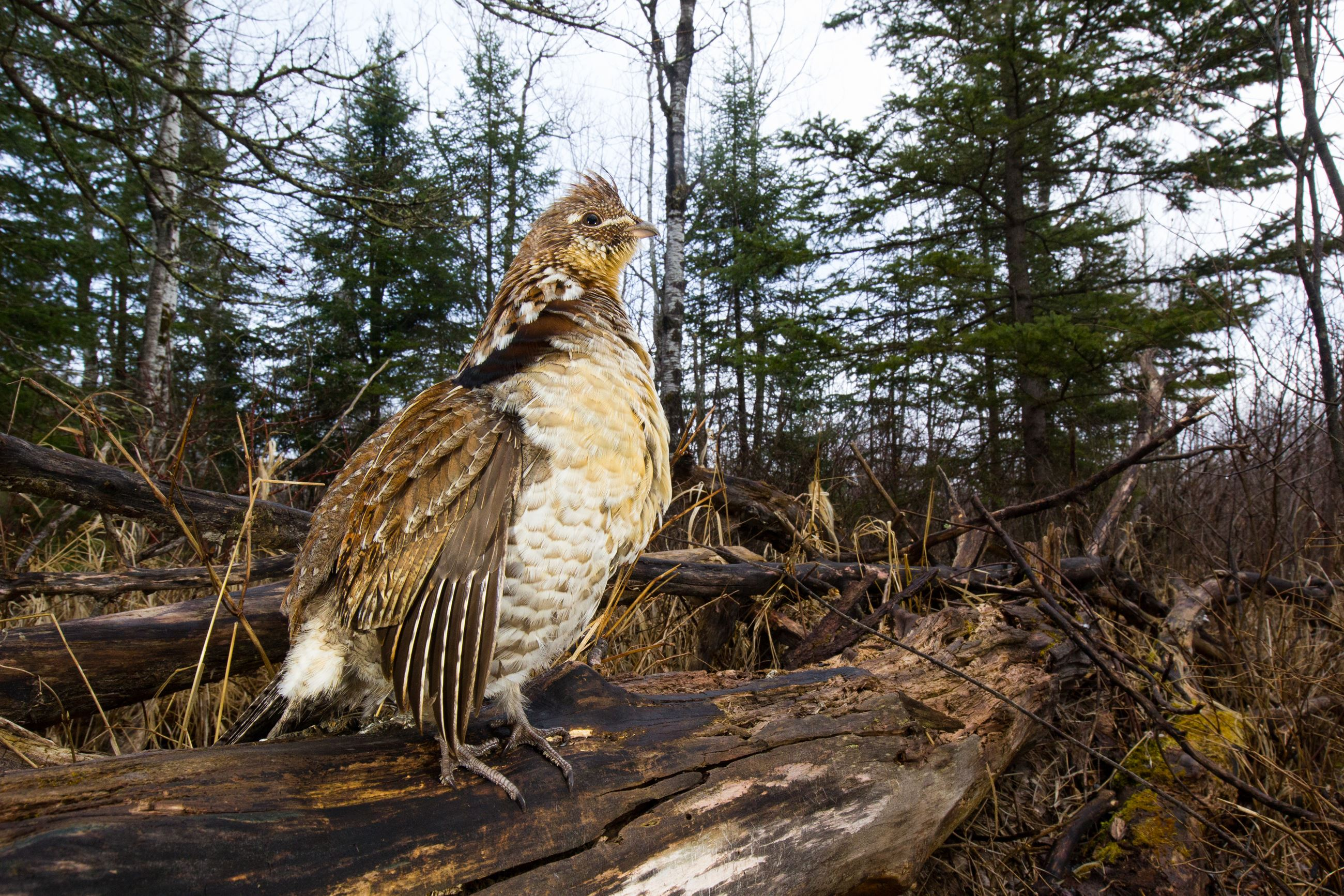 Grouse Log-0775